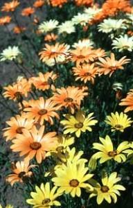 Садовые цветы: розы, тюльпаны 38