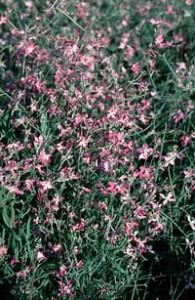 �������� �������� ��� ������ ������ ( Mattiola bicornus )